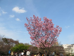 ヨウコウサクラ 満開の丘の上の花と花見する人々
