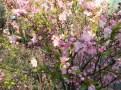 ニワウメ 花の様子