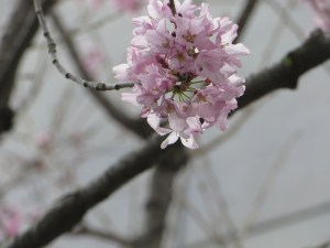Fuji cherry/ マメザクラ