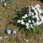 ハナニラ 白花と青い花