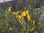 Scotch broom/ エニシダ