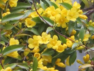 カロライナジャスミン 満開の蔦の花