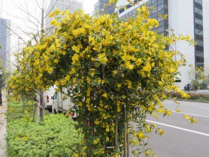 カロライナジャスミン 街路に仕立てられた花