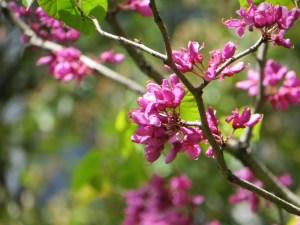 ハナズオウ 花の姿