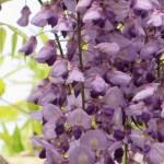 フジ 満開の花のアップ