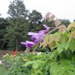 フジ 季節はずれの花