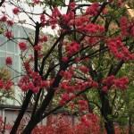 モモ 菊桃 花の様子