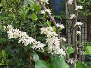 ハナズオウ 白花の姿