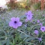 ヤナギバルエラソウ 青色系の花のアップ
