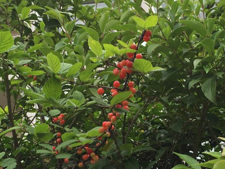 赤い実が熟したところ