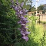 夏に咲いていた藤 フジ