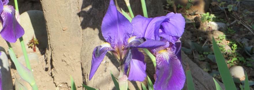 Roof iris/ イチハツ