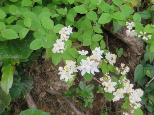 マルバウツギ 花と枝の様子