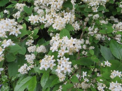 花の様子 マルバウツギ