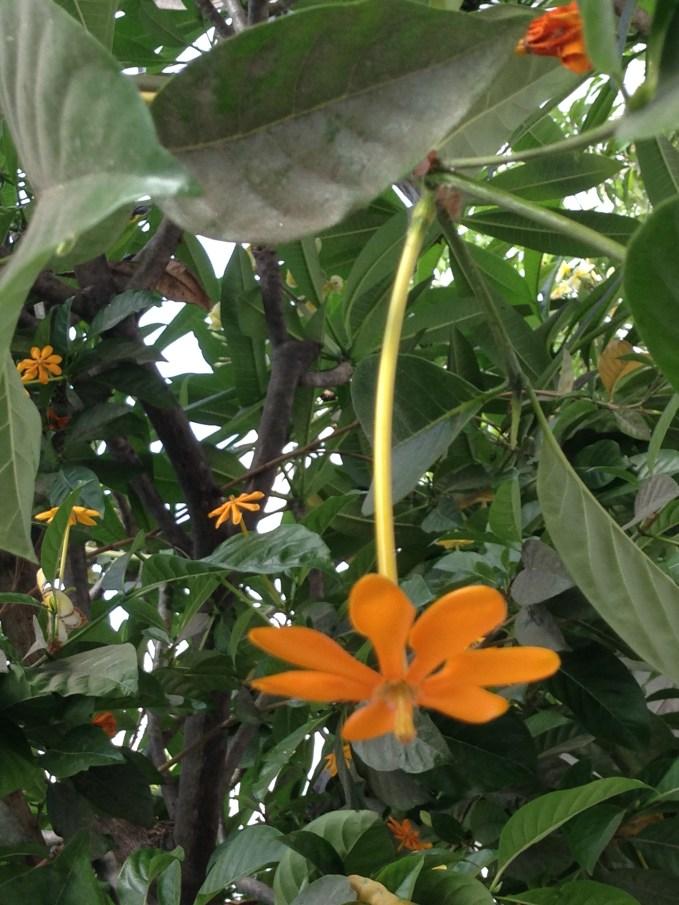 キバナクチナシ 花のアップ(やや花の終わり)
