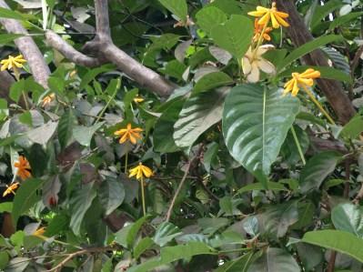Golden gardenia/ キバナクチナシ