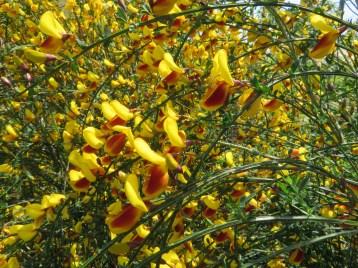 ホホベニエニシダの花のアップ