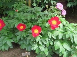 シャクヤク 品種:スカーレットオハラ variety: scarlet ohara