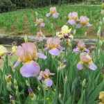 ジャーマンアイリス 何色かの花の様子
