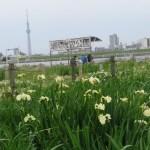 ハナショウブ 花と東京スカイツリー