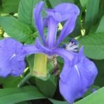 カキツバタ 花のアップ