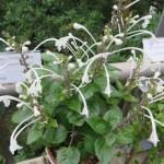 ムニンタツナミの花の様子