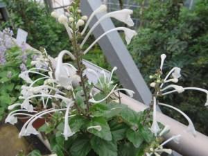 ムニンタツナミ花の姿
