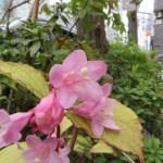 タニウツギ 早春に咲いている花