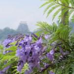 ジャカランダの花のアップと城