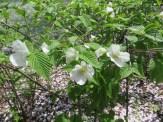 シロヤマブキ 花の姿