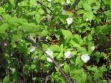 Rhodotypos flowers