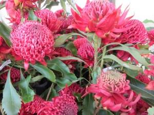 New South Wales waratah/ テロペアスペキオシマ