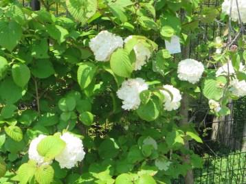 オオデマリ 花の様子