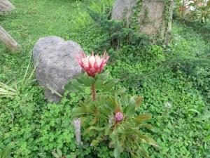 キングプロテア 植物の全景