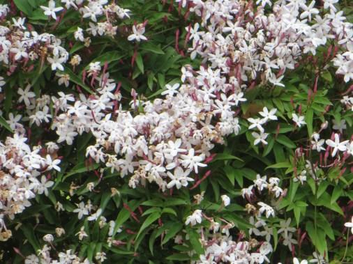 ハゴロモジャスミン 花の咲き乱れる様子