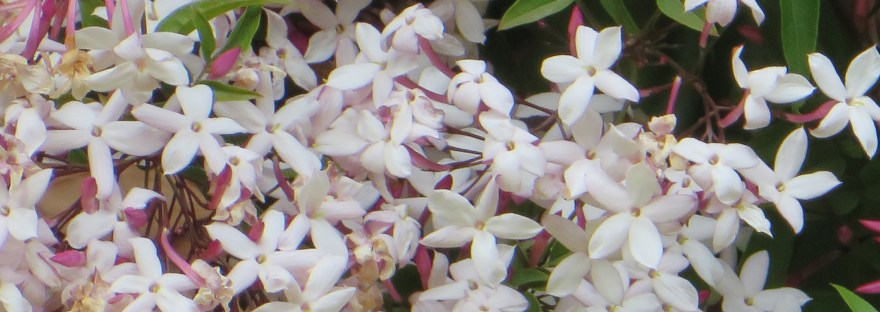 Pink Jasmine/ ハゴロモジャスミン