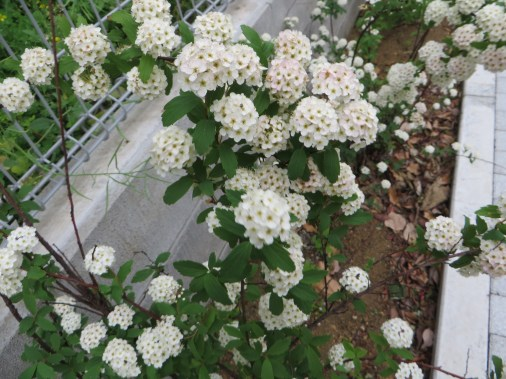 コデマリ 花の様子(若木)