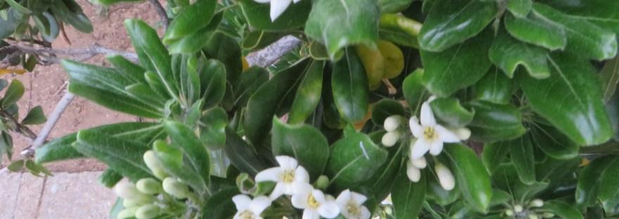 Japanese pittosporum/ トベラ