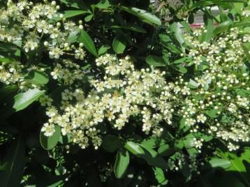 まだ咲き始めのトキワサンザシ