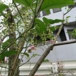 マユミ 花の姿