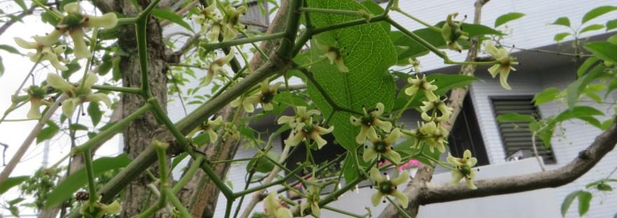 Hamilton's spindletree/マユミ