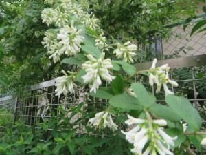 イボタノキ 花と枝の様子