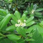 トベラの植物外観