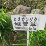 ヒメカンゾウ 標識