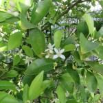 レモン 花と葉の様子