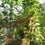 サンゴシトウ 花と枝の姿