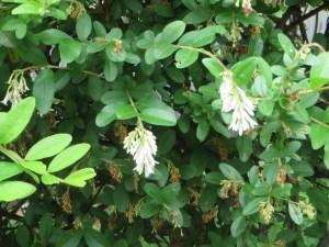 イボタノキ 花の様子