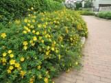 タイリンキンシバイ 花の全景