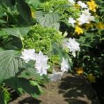 ガクアジサイ 白花