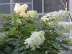Oakleaf hydrangea/ カシワバアジサイ